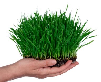 Wheatgrass23